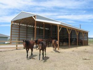 horses around custom built barn